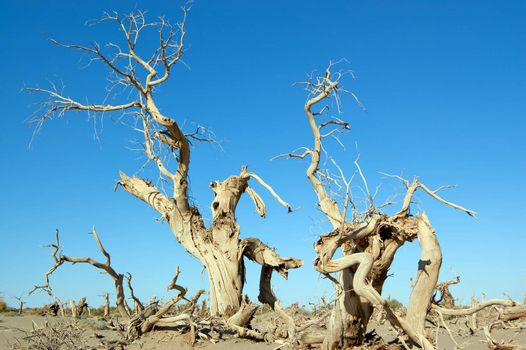Dead trees of diversifolia populus in the desert of China