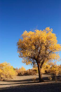 Yellow tree of diversifolia populus in North China