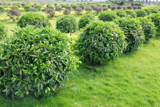 Green tea trees in the field