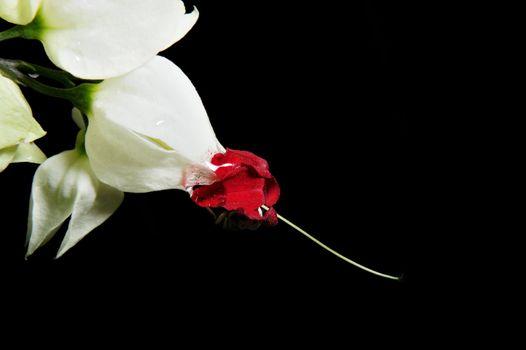 Clerodendron thomsonea flower on black background