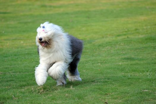 An old English sheepdog running on the lawn