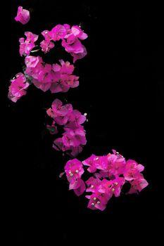 Its scientific name is called Bougainvillea Spestabili