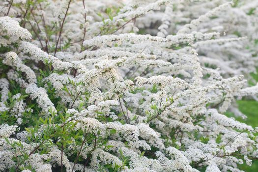white flowers in spring bushes