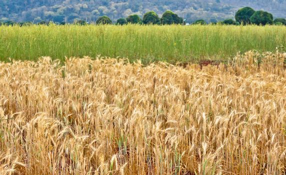 The golden and green wheat field