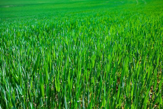 background of a lush green grass