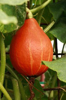hokaido pumpkin in the my green garden