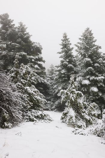 Narrow path in pine forest under snow