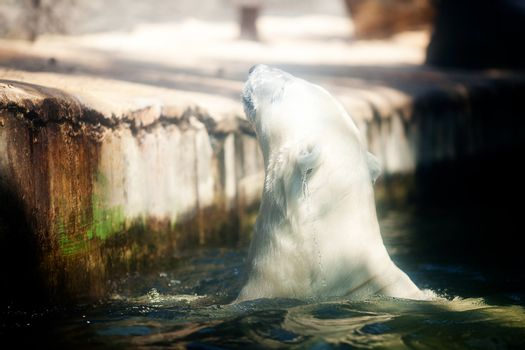 polar bear in the water at the zoo