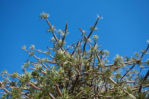 coniferous tree against the blue sky in the park