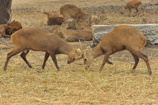 Two white-tailed deer sparring in a zoo.