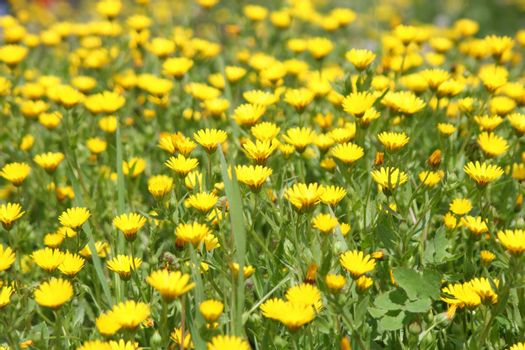 yellow flowers, Wildflower, Wild springtime season,meadow, plant park, Outdoor, Nature, lush, leaf, meadow, blossom, blooming, growing, green, grass, garden fresh flowers, flowerbed, flower, floral, wildflower, grass, environment, colorful,