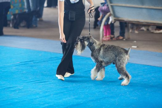 schnauzer on a leash and its owner
