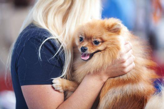 Pomeranian spitz at the hands of women