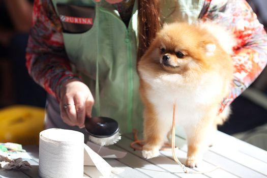 the woman combing Pomeranian spitz