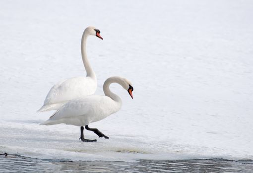 swan - cygnus olor