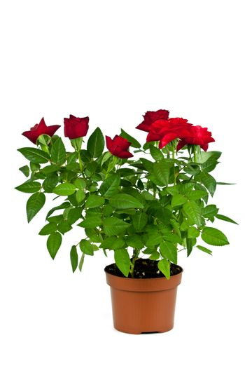 red roses in a pot