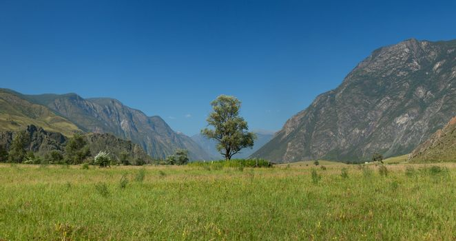 Lonely tree in mountains. Altai mountains. Russia