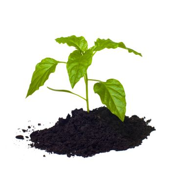Young seedling growing in a soil.