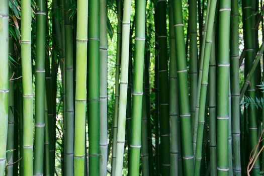Beautiful view of Green bamboo forest