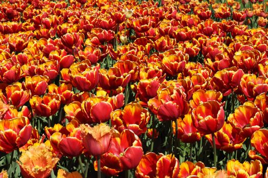 Spring red and orange tulips beautiful background