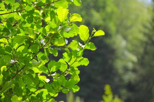 Fresh green foliage in sunlight