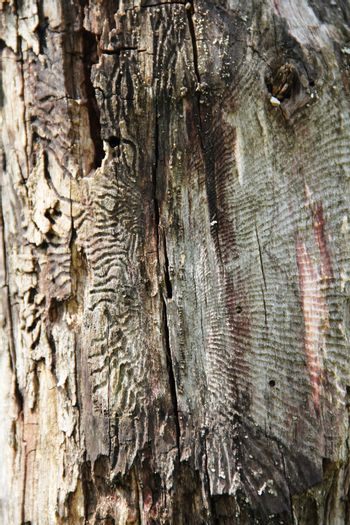 Tree bark texture with traces of bark beetle