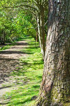Tree on Woodland Path