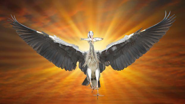 Great Blue Heron in flight, fish in beak