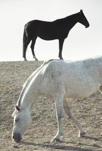 Black and white horses outdoors. Vertical photo. Natural light and colors