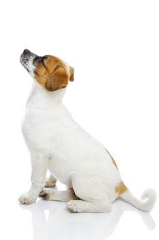 Obedient terrier dog