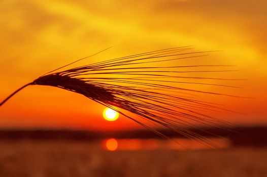red sunset over field with wheat and pond