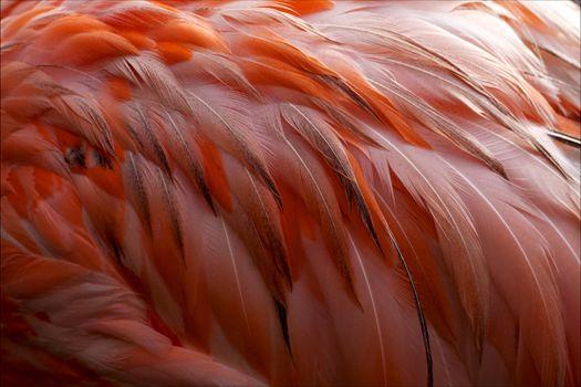pink flamengo   plumage