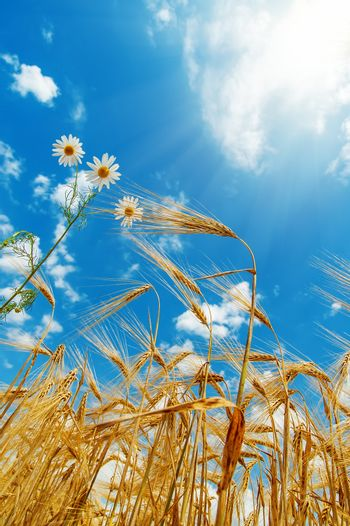 white flower with wheat under sunny sky