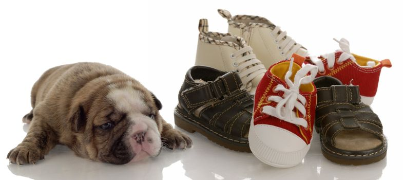 puppy growth - english bulldog puppy laying beside pile of infant shoes