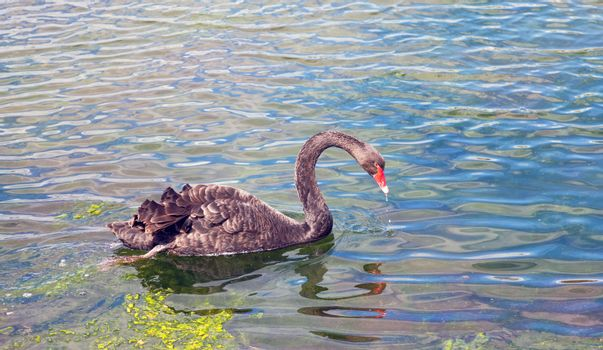 Graceful black swan swimming in a pond