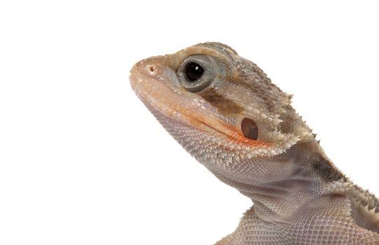 Translucent Bearded Dragon