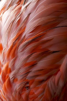 flamengo   plumage  abstract