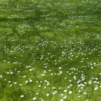 Small white flowers and grass