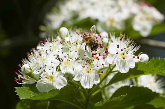 Bee on hawthorn flowers