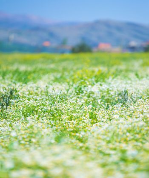 Daisy flowers field