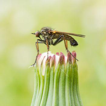 Ugly fly sitting on an hawkbit