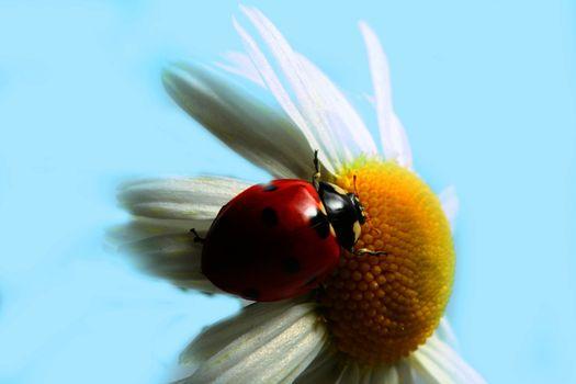 summer ladybug on white camomile