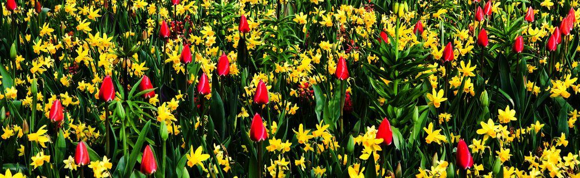 Pink tulips and yellow daffodils, beautiful springflowers