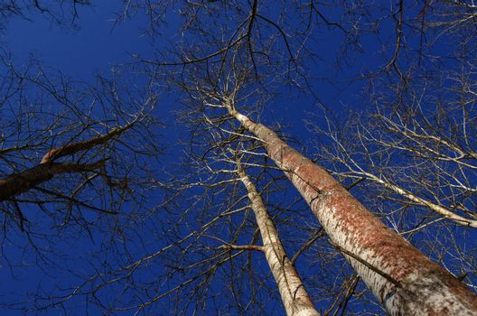 naked aspen tree top branches without leaves in winter on dark intensive blue sky background.