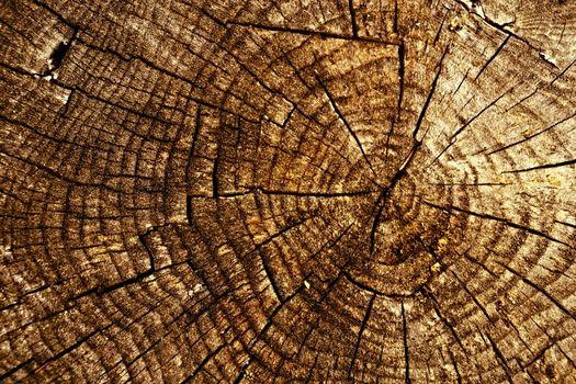 old spruce stump