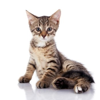 Striped not purebred kitten on a white background.