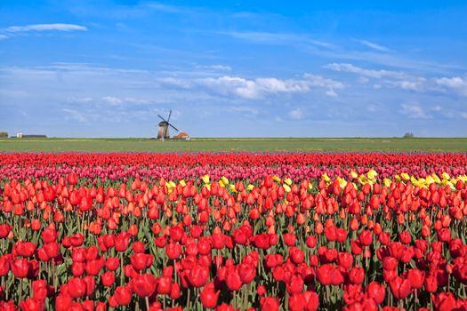red, pink, yellow tulip fields and  Dutch windmil, Alkmaar, North Hollandl
