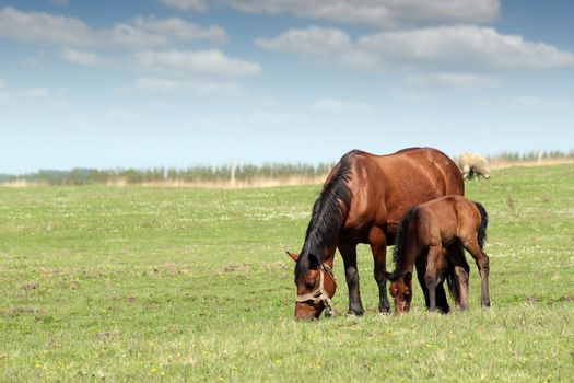 mare and foal on pasture ranch scene