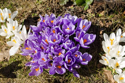 blue saffron crocus flower blooms and insects bees collect pollen nectar in spring.