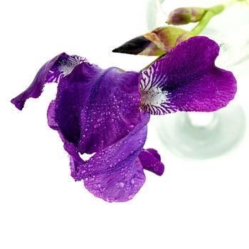 Iris flower in a glass.